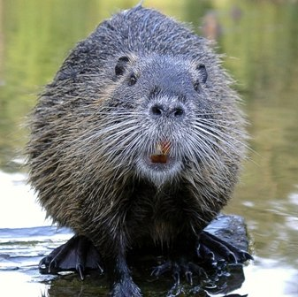 a hairy beaver yesterday
