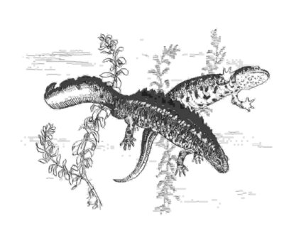 (Great crested) newts