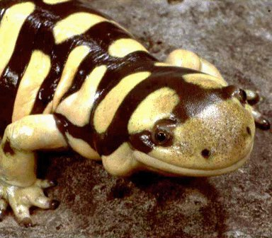 Salamander (yellow and black)